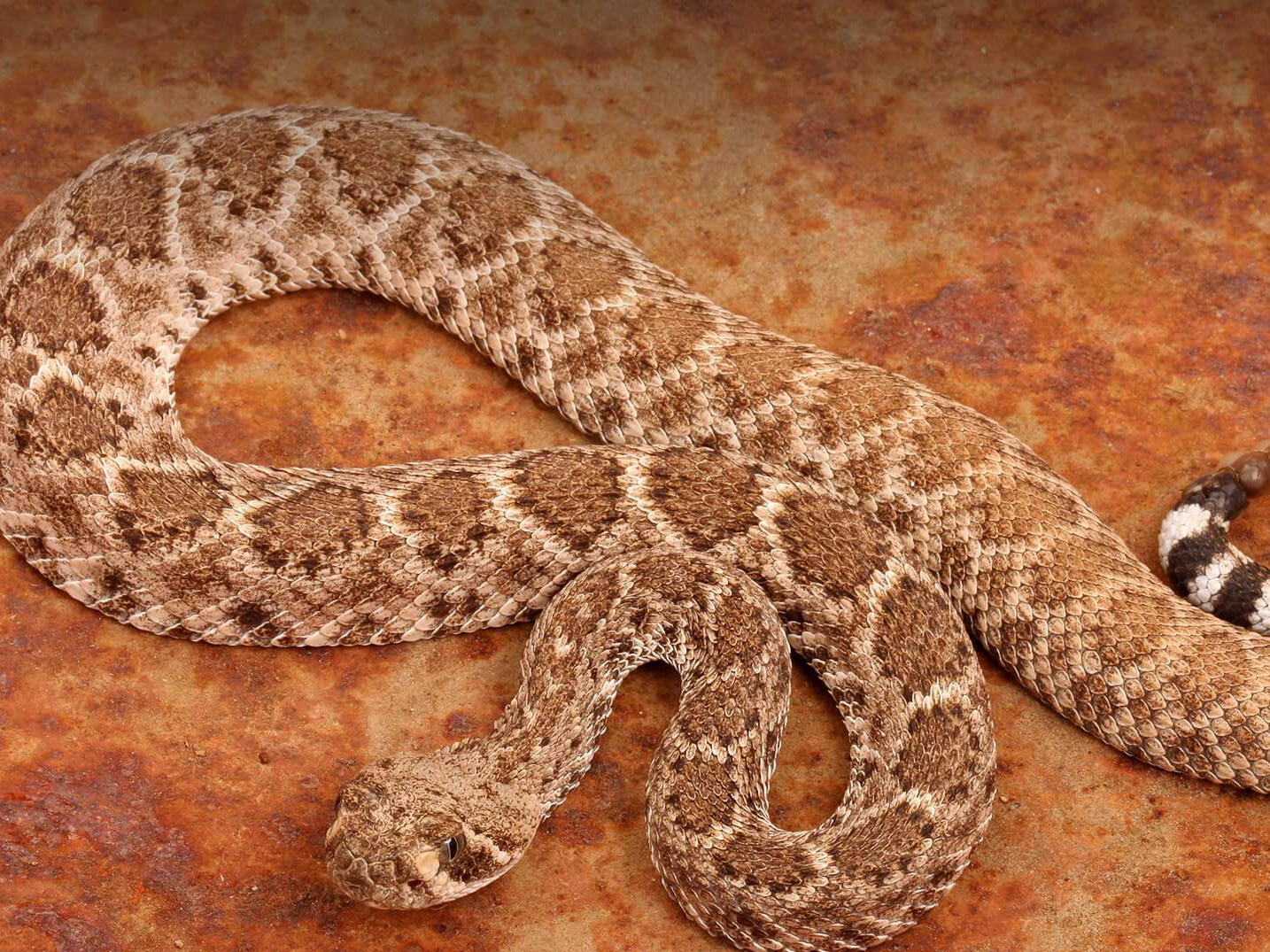 animals_hero_rattlesnake_0.jpg